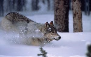 WolfRunningInSnow-300x188