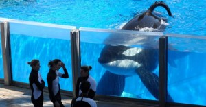 seaworld-can-no-longer-breeed-orcas-300x156