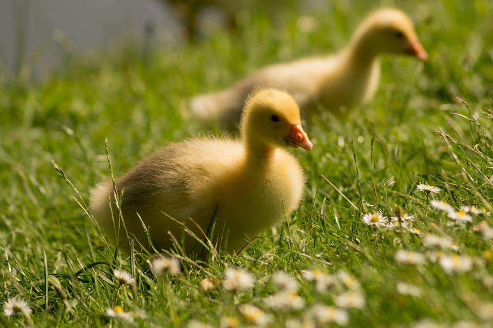 goslings-384581_960_720