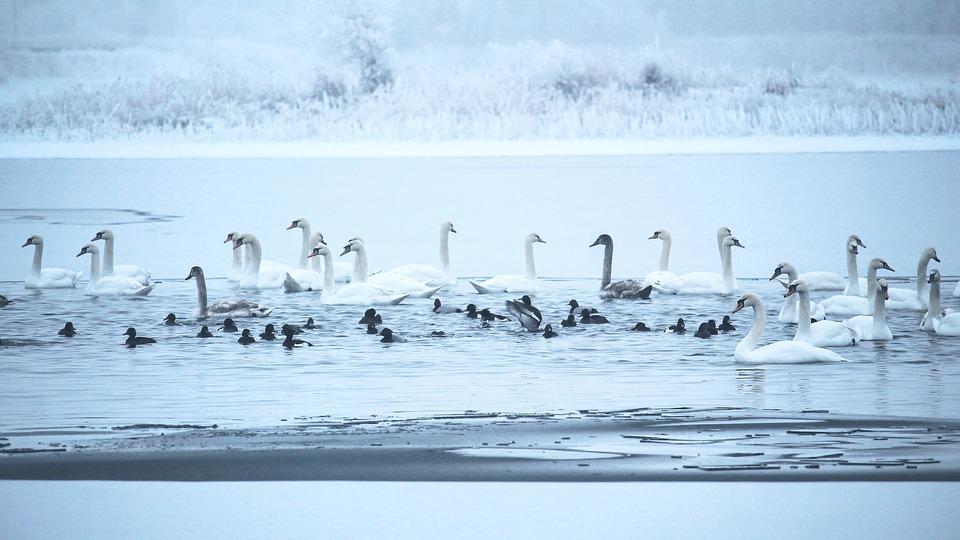 swans-1991828_960_720