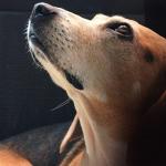 beagled