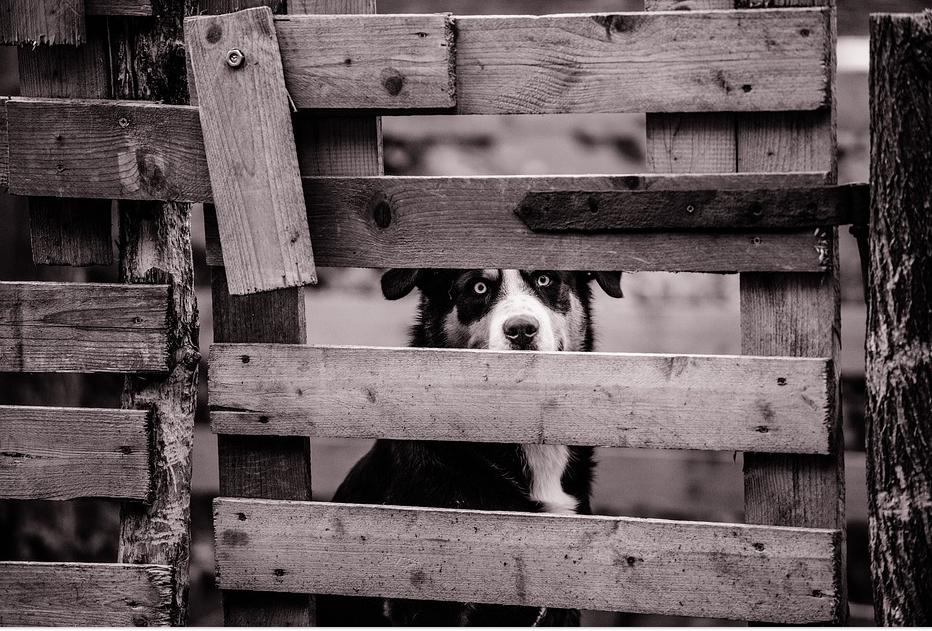 fencedog