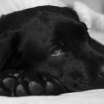 apie šunų nuodijimą