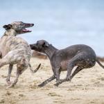 greyhound Mark Galer