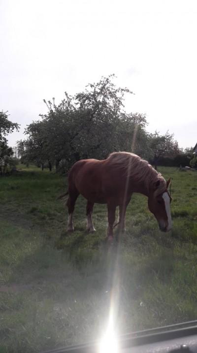 Kelmės arklys 1